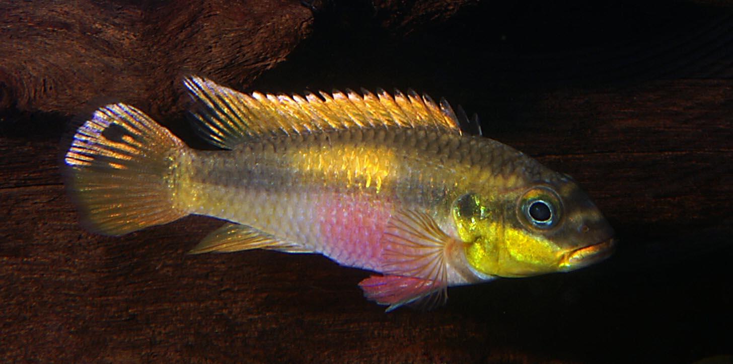 Some Pelvicachromis taeniatus  quot Wouri quot  in non-sexually active colors    Pelvicachromis Taeniatus Wouri
